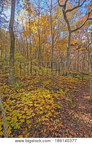 Yellows in the Forest in Fall in Blue Mound State Park in Wisconsin