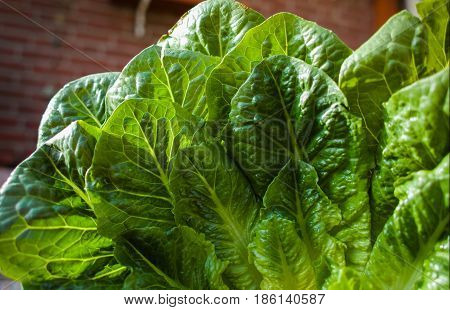 Green romaine lettuce - source of vitamins ready to eat
