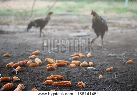 Thai Traditioal Ways Of Raising Folk Fighting Cocks.