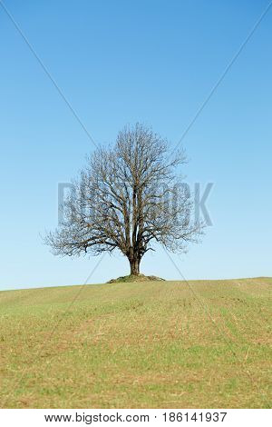 Big Lonely tree in field. Huge tree in the middle of a field.
