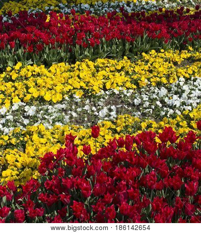 Istanbul tulip time. First spring opens first flowers
