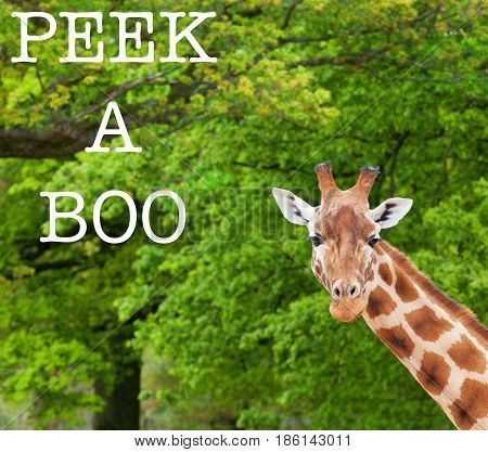 Close-up of a giraffe in front of some green trees looking at the camera. With Peek A Boo text.