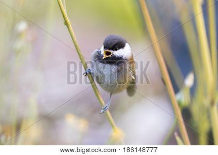 Chestnut-backed Chikadee (Poecile rufescens) whistling. Santa Clara County, California, USA.
