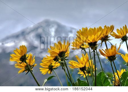 Arnica close up. Cascade Mountains. Oregon. The United States.