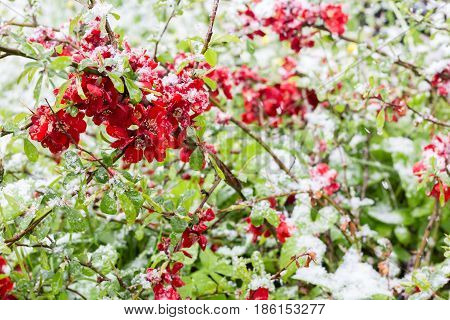 Bright closeup photo of red decorative japonica, Japanese quince, in the snow