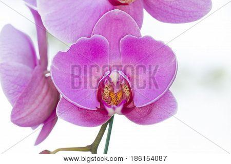 Purple phalaenopsis orchid flower on white background
