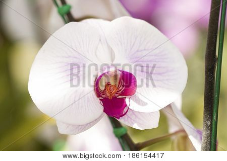 Close-up image of pink white phalaenopsis orchid isolated on white background