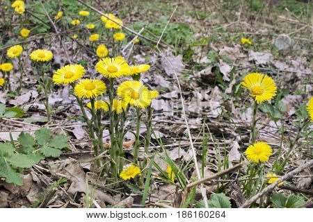Coltsfoot's Flowers In The Lap Of Nature