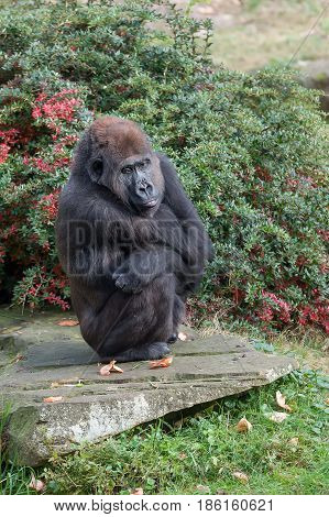 a gorilla wait until they brought food