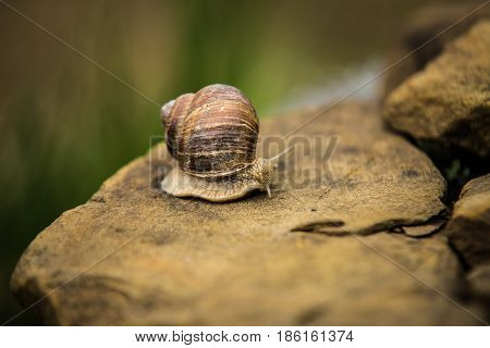 Snail crawling slow on brown a rock