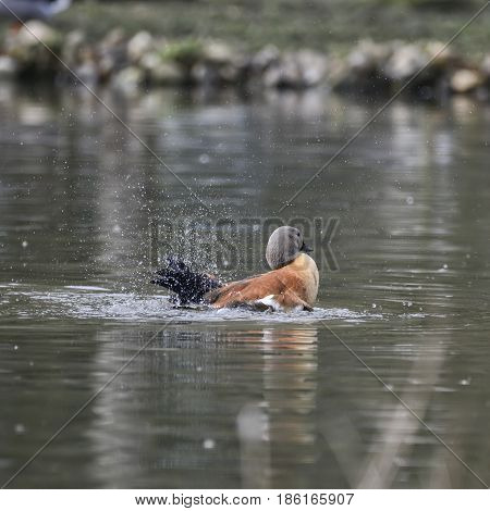 Beautiful Portrait Of South African Shelduck Bird Tadorna Cana On Water In Spring