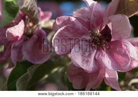 Bright pink saturated apple blossoms in spring close-up