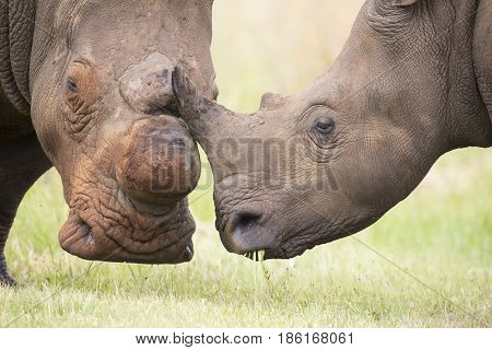 Close-up of a white rhino head with a tough wrinkled skin