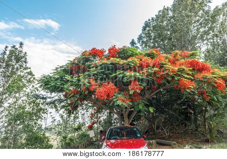 Full grown red colored tree on a road to hill station, car parked under the tree,Salem, Yercaud, tamilnadu, India, April 29 2017