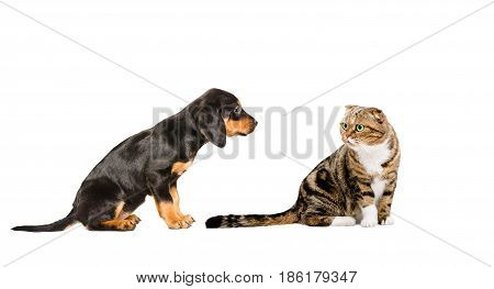 Puppy breed of a Slovakian hound and cat Scottish Fold sitting together, isolated on a white background