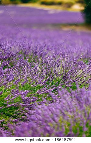 Blurred background of Blooming Purple Lavender Flowers Field in Provence, France. Agricultural and travel background.