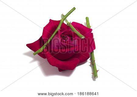Mom's pink rose bud Scarlet rose bud