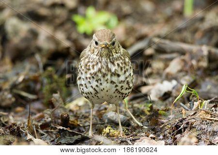 The photo shows a songbird on a grass