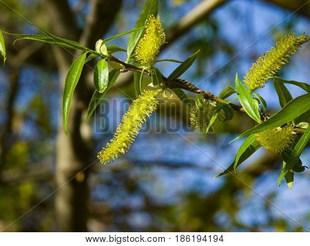 Brittle willow Salix fragilis blossom in spring with bokeh background selective focus shallow DOF.
