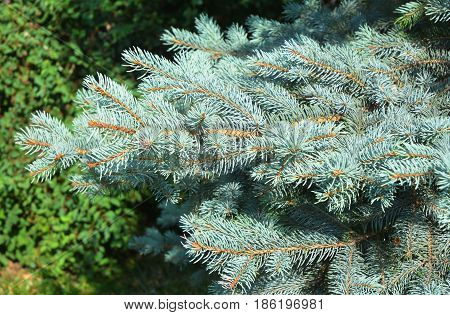 Blue spruce branches as a textured background. Blue spruce green spruce white spruce Colorado spruce or Colorado blue spruce with the scientific name Picea pungens is a species of spruce tree.