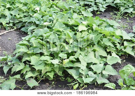 Growing organic sweet potatoes and yams in the garden. Organically grown sweet potatoes.