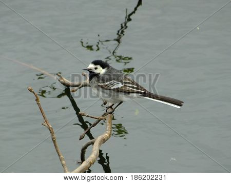 Pied wagtail perched on a branch above water