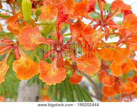 beautiful Flam-boyant flower. Gulmohar flowers. Orange flower.