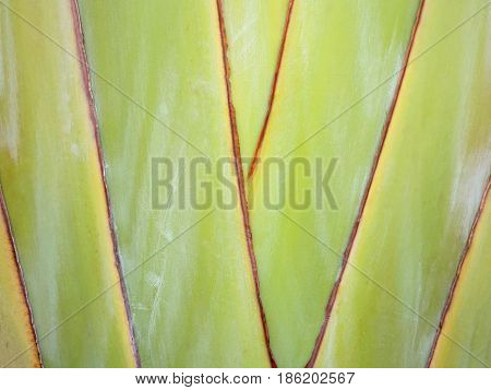 Ribbed leaf or Scientific name is Travellers palm.