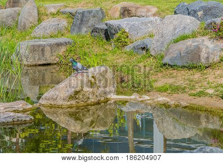 Beautiful rock pigeon standing on large boulder next to a small pond.