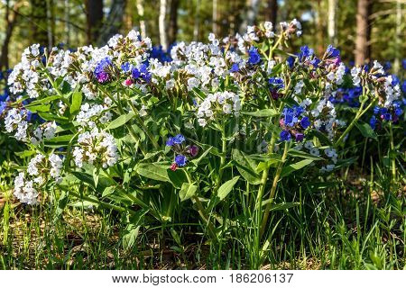 Beautiful spring floral background with rare bright white flowers Medunica (Pulmonaria) in the forest in the grass close up