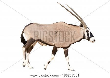 Oryx Gazella or Gemsbok walking seen from side isolated on white background