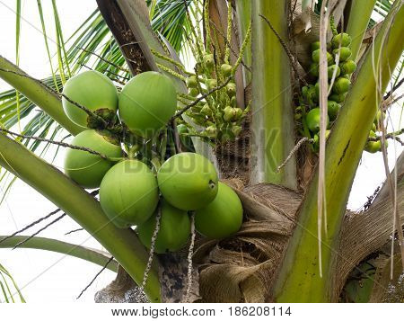 Fresh Organic Brown Coconut.