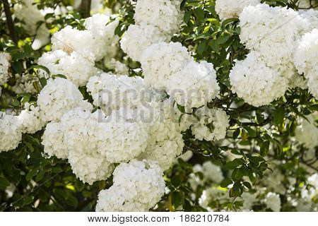 Flowers of Viburnum macrocephalum Chinese snowball species of flowering plant in the family Adoxaceae