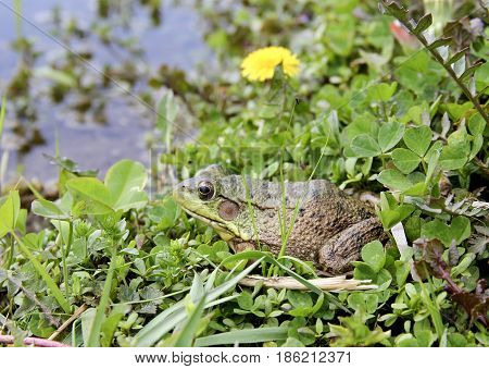 American Bullfrog or Lithobates Catesbeianus sitting on the shore of a freshwater lake