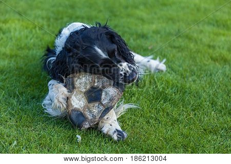 The dog of breed Cocker Spaniel gnaws a soccer ball on a green grass black white Cocker Spaniel