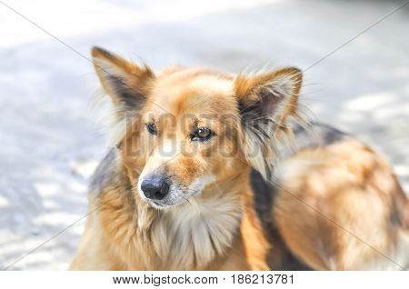stray doghalf breed dog or mongrel dog