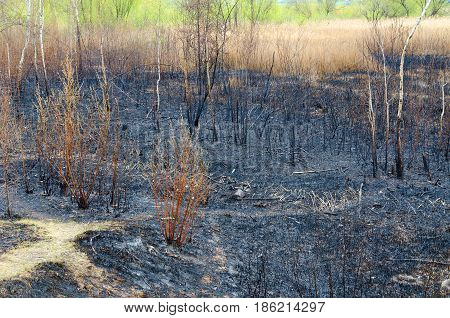 Scorched spring dry grass and rubbish on ashes. In background shrub with green foliage