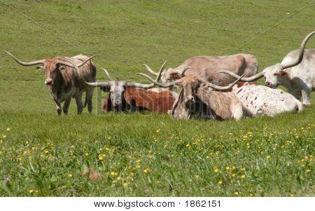 Longhorns In Field