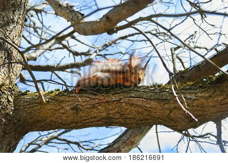 Red Squirrel sits on a tree in the spring at sunny day.