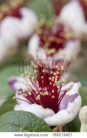 Flowers of Acca sellowiana flowering plant in the myrtle family Myrtaceae native to South america feijoa pineapple guava guavasteen.