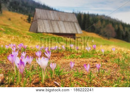 Spring Mountain Landscape With Wild Crocuses