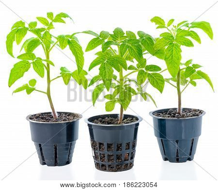 young seedling of fresh green tomato plants in flower pot is isolated on white background close up