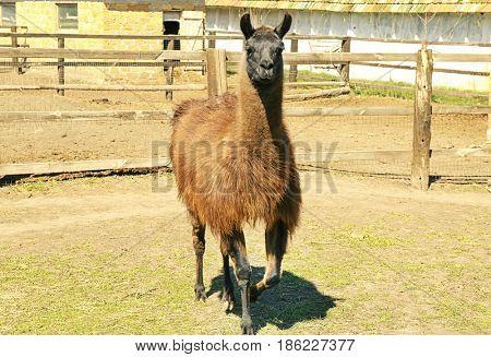 Cute llama in enclosure on farm