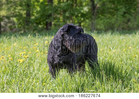 Giant Black Schnauzer Dog is standing at the blossoming dandelion meadow. The dog is looking on the left side.Horizontally.