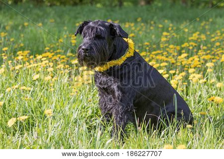 Old Giant Black Schnauzer Dog with a wreath of dandelion on the neck is sitting at the blossoming dandelion meadow. Horizontally.