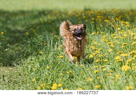 Crossbreed brown dog is running against the camera at the blossoming dandelion meadow. Horizontally.