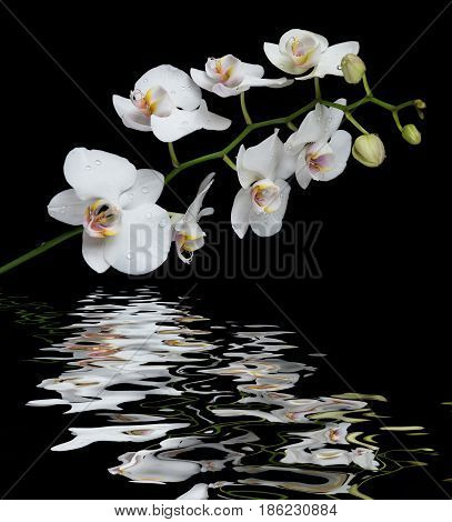 White orchid phalaenopsis flower covered with water drops isolated on a black background reflected in a water surface with small waves