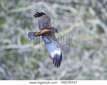 Western marsh harrier in flight with vegetation in the background
