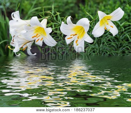Several large flowers of beautiful white tubular lilies outdoors reflected in a water surface with small waves