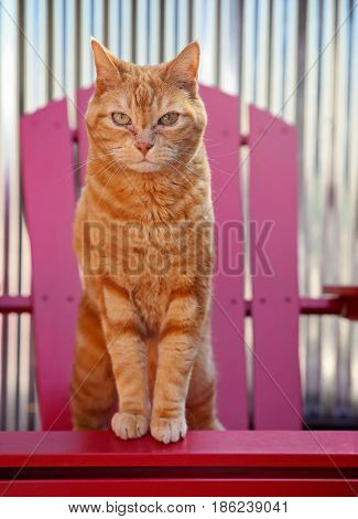 an orange tabby sitting on a chair outside on a patio during a warm sunny summer day
